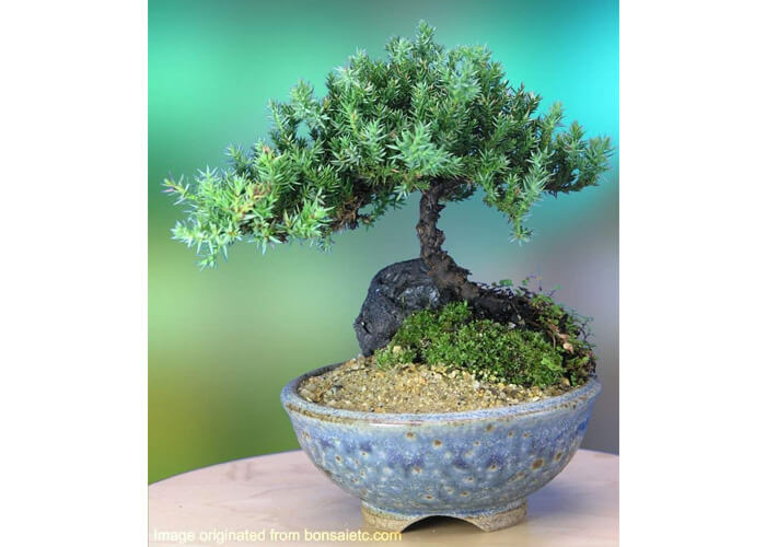 Get Her This Cute Juniper Bonsai Tree In Japanese Setku Bowl